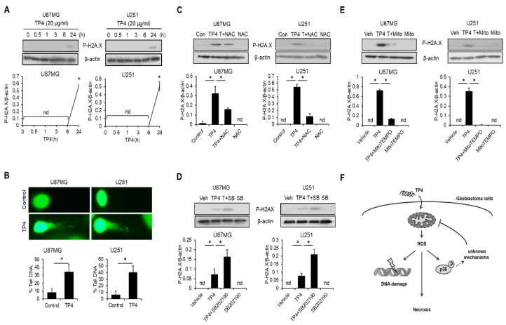 ROS are crucial for TP4-induced DNA damage. ( A ) Cells were treated with TP4 (20 μg/mL) for different times. Cell lysates were collected and immunoblotted with P-H2A.X (phospho-H2A.X) and β-actin antibodies. Bottom panel: quantification of P-H2A.X. ( B ) Comet assay results of TP4 exposure. Cells were treated with or without TP4 (20 μg/mL) for 24 h. Bottom panel: percentage of DNA tail was measured in 100 cells. Cells were preincubated with ROS scavenger NAC (5 mM), ( C ), MitoTEMPO (10 μM) ( D ) or SB202190 (20 μM) ( E ) for 1 h, followed by TP4 (20 μg/mL) treatment for 24 h. Cell lysates were collected and immunoblotted with P-H2A.X and β-actin antibodies. Bottom panel: quantification of P-H2A.X. Con: control; Veh: vehicle (0.5% DMSO); SB: SB202190; T + SB: TP4 + SB202190; Mito: MitoTEMPO; T + Mito: TP4 + MitoTEMPO; T + NAC: TP4 + NAC. Western blotting experiments were performed at least three times with similar results. Band intensities were quantified with Image J software. * p