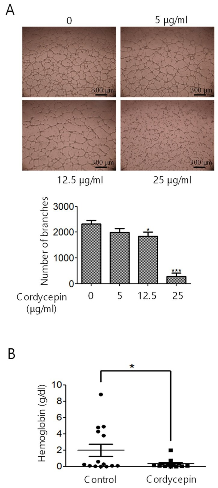 Suppression of tube formation and in vivo angiogenesis by cordycepin. ( A ) HUVECs were treated with cordycepin for 48 h and seeded onto Matrigel-coated plates with 0–25 μg/mL cordycepin in M200 medium for another 6 h. Tube formation was examined by counting the number of branches. ( B ) Matrigel plug assay was performed to assess in vivo angiogenesis formation in C57BL/6 mice. The mice were implanted with Matrigel plugs containing vascular endothelial growth factor (VEGF) and heparin with or without 25 μg/mL cordycepin for seven days. The Matrigel plugs were harvested, and in vivo angiogenesis was evaluated by measuring the concentration of hemoglobin. Scale bars: mean ± SD. *, p