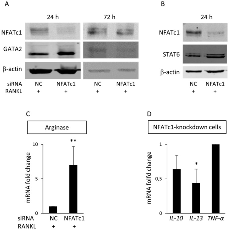 GATA2 is a new target of NFATc1. Cells were transfected with siRNA-NC and siRNA-NFATc1 for 24 and 72 h before protein expression levels were analyzed. ( A ) Western blot of NFATc1 and GATA2 after 24 and 72 h. ( B ) Western blot of NFATc1 and STAT6 after 24 h. β-actin was used as loading control. The data shown represent two independent experiments with comparable outcomes. ( C ) QPCR of Arginase 1 . ( D ) QPCR of IL-10, IL-13 and TNF-α . mRNA expression is presented as relative values to those expressed in siRNA-NC transfected cells arbitrarily set at 1.0. The results shown are the means ± SD of three experiments (each of which was performed in triplicate). * p