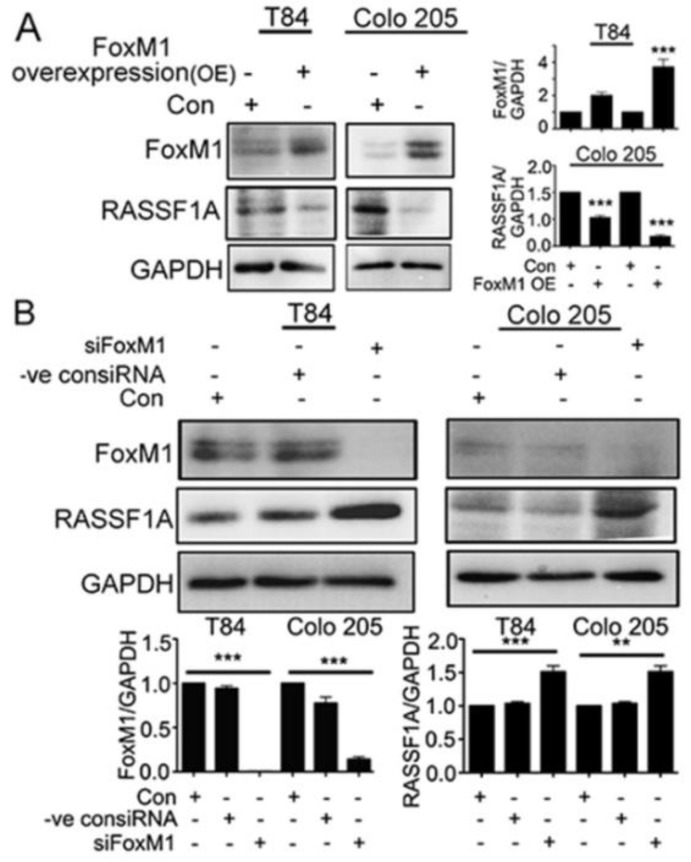 RASSF1A regulation is dependent on FoxM1. <t>T84</t> and Colo 205 cells were transfected with plasmid for overexpression of FoxM1. ( A ) Cell lysates were analyzed by immunoblot and quantified by densitometry for expression of FoxM1, RASSF1A. Expression is normalized against GAPDH. The right panel of ( A ) represents the densitometric analysis of FoxM1 and RASSF1A. ( B ) T84 and Colo 205 cells were transfected with <t>siRNA</t> for FoxM1 or control siRNA for 48 h. Cell lysates were evaluated for FoxM1 (( B ), 1st lane), RASSF1A (( B ), 2nd lane) by immunoblot and quantified by densitometry. The results are from three independent experiments. (** p