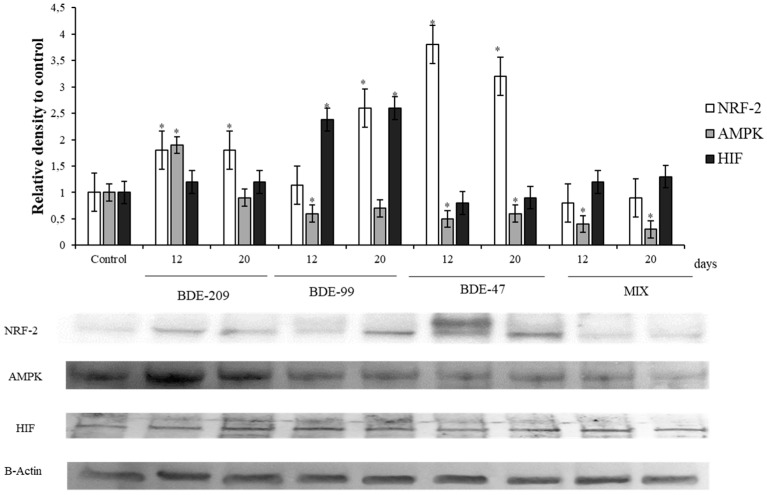 Immunoblotting of <t>NRF2,</t> AMPK, HIF, evaluated on HS-68 cells exposed to 1 μmol/L BDE 209, 99, 47 and MIX for 12 and 20 days. Actin was used as internal control. The images are representative of at least three separate experiments. The relative protein quantification is represented in the graphic (* p