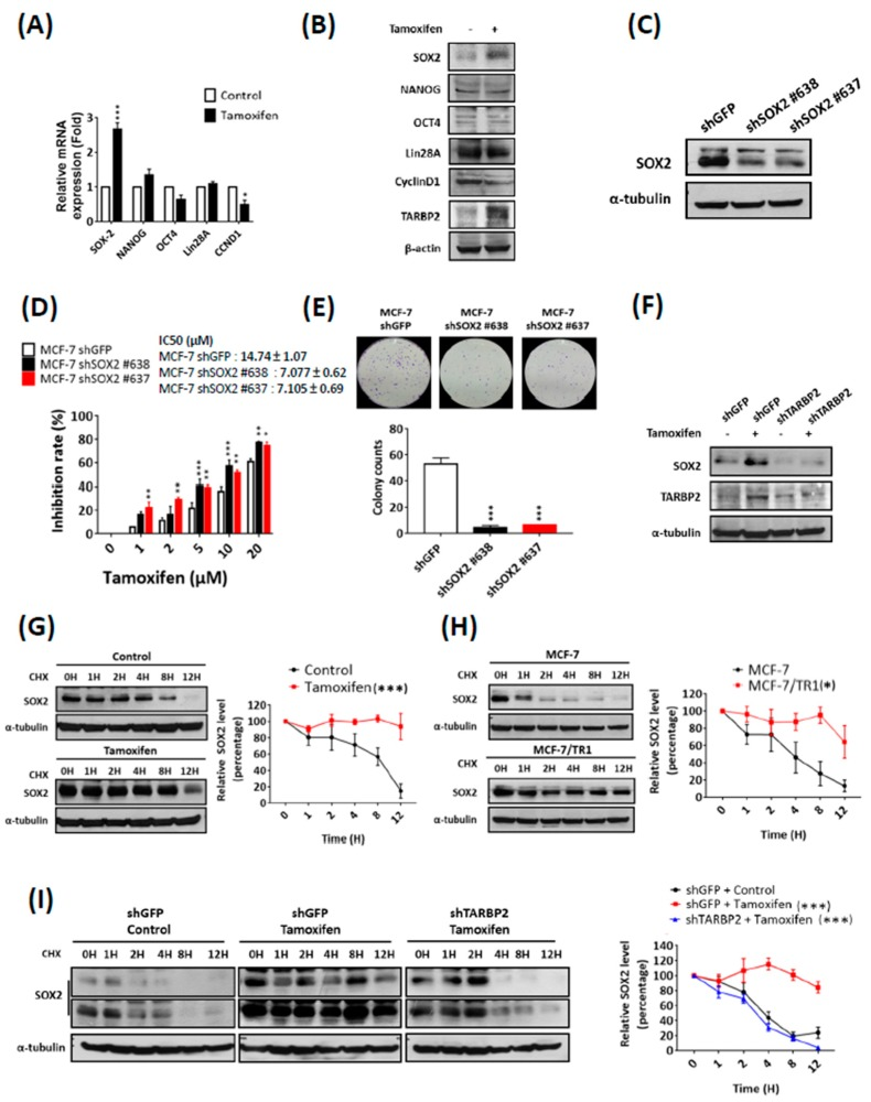Tamoxifen induces <t>SOX2</t> to enhance tamoxifen resistance through TARBP2. ( A , B ) Expression of different stem cell markers after tamoxifen treatment. MCF-7 cells were treated with 2 μM tamoxifen for 48 h and then RNA was isolated to analyze the mRNA expression of stem cell markers by reverse-transcription PCR (qRT-PCR). The experiments were repeated at least 3 times, and ATP5E was used as a positive control for tamoxifen treatment ( A ). * p ≤ 0.05 by t -test. Cells as indicated in ( A ) were collected to analyze protein expression by western blotting ( B ). ( C , D ) Effect of SOX2 expression on tamoxifen sensitivity. MCF-7 cells were transfected with shRNA targeting SOX2 for 48 h and treated with different concentrations of tamoxifen (1, 2, 5, 10, 20 μM) for 72 h. The efficiency of SOX2 knock-down was examined by western blot ( C ), and the proliferation and colony formation were determined by MTT ( D ) and colony formation assays ( E ), respectively. MTT experimental results are given as the means ± SEM from at least three separate experiments that were performed in duplicate or triplicate and analyzed by two-way ANOVA. * p ≤ 0.05, ** p ≤ 0.01. ( F , G ) Tamoxifen downregulated the protein level of SOX2 through TARBP2. MCF-7 cells were transfected with shRNAs targeting TARBP2 for 48 h; 2 μM tamoxifen was then added to the culture medium for 48 h. The cells were harvested to determine the protein expressions by western blot. ( G – I ) TARBP2-regulated protein stability of SOX2 in tamoxifen-treated and resistant cells. Tamoxifen-treated (2 μM for 48 h) MCF-7 ( G ) and MCF-7/TR1 ( H ) cells were treated with 50 μg/mL cycloheximide to block protein synthesis and were then harvested at the indicated time point to analyze the expression of SOX2 by western blotting. ( I ) MCF-7 cells were transfected with the indicated shRNAs targeting TARBP2 for 48 h and treated with 2 μM tamoxifen for 48 h. Cells were add 50 μg/mL cycloheximide and harvested at the indicated time point to analyze the expression of SOX2 by western blotting. The degradation rates were plotted for the average ± SEM of at least three independent experiments and analyzed by two-way ANOVA. * p ≤ 0.05, ** p ≤ 0.01, *** p ≤ 0.001.