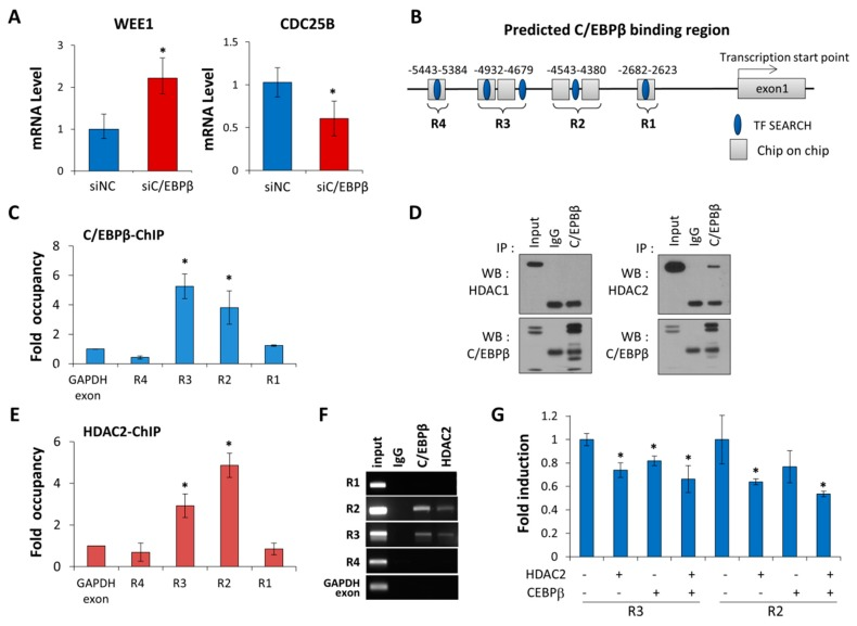 C/EBPβ regulates Wee1 expression at the transcription levels and interacts with HDAC2. ( A ) Quantitative real-time RT-PCR (qRT-PCR) was used to determine Wee1 and Cdc25B mRNA levels relative to the control gene GAPDH in C/EBPβ-knockdown A549 cells. Data are presented as mean ± SD. ( B ) The position of the four predicted C/EBPβ binding sites in the WEE1 promoter are represented. C/EBPβ–ChIP on chip data and TFSEARCH based binding sites are indicated as a rectangle and an oval, respectively. The prediction of WEE1 promoter regions was based on NCBI accession number (NC_000011.10, GRCh37.p11) ( C ) The C/EBPβ-ChIP assay followed by qRT-PCR on putative C/EBPβ binding regions on the WEE1 promoter was performed to determine endogenous C/EBPβ occupancy at the specified region. The fold enrichment of C/EBPβ occupancy over GAPDH exon (negative control) is shown. Data are presented as mean ± SE. ( D ) A549 cell lysates were immunoprecipitated using anti-C/EBPβ antibodies. Immunocomplexes were analyzed by Western blot with either anti-HDAC1 or -HDAC2 antibodies. IgG was used as a negative control. ( E ) HDAC2-ChIP assay followed by qRT-PCR on putative C/EBPβ binding regions at the WEE1 promoter was performed. The fold enrichment of HDAC2 occupancy over GAPDH exon (negative control) is shown. Data are presented as mean ± SE. ( F ) The C/EBPβ-ChIP or HDAC2-ChIP assay followed by PCR on putative C/EBPβ binding regions at the WEE1 promoter was performed. The PCR products resolved on 2% agarose gel were visualized. ( G ) A549 cells were co-transfected with a WEE1 promoter-luciferase construct containing R2, or R3 along with C/EBPβ and/or HDAC2, as indicated, for 48 h, and then luciferase activities were measured. Data are expressed as relative luciferase activity/ug protein standardized by a control pGL3-promoter vector. Data are presented as mean ± SD. Statistical significance was determined using the t -test, * p