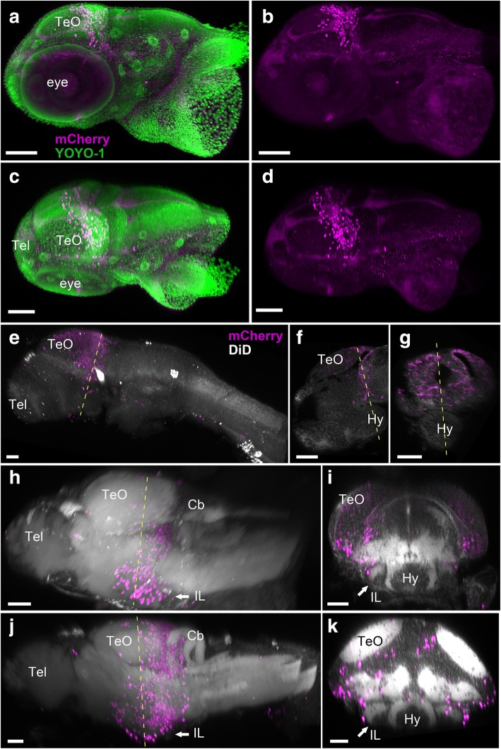 Localization of the mCherry-positive cells in young larval brains of Tg(her5:ERT2CreERT2;βact:lox-stop-lox-hmgb1:mCherry) zebrafish treated with tamoxifen at 24 hpf. Anterior to the left for a – d , e , h , and j . a – d 3D reconstruction from confocal images of a whole head of 3 dpf larva. mCherry-positive cells are shown in magenta, and YOYO-1, a nuclear marker, is shown in green. a , b Side view of the larval head with ( a ) and without ( b ) YOYO-1 labeling. c , d Top view of the larval head with ( c ) and without ( d ) YOYO-1 labeling. The mCherry-positive cells are still close to the MHB at this stage. Some cells are starting to migrate anteriorly, but there are no mCherry-positive cells in the forebrain or in other brain areas. e – k 3D reconstruction from confocal images of dissected brains of 3 dpf ( e – g ), 5 dpf ( h , i ), and 7 dpf ( j , k ) larvae. mCherry-positive cells are shown in magenta, and DiD fiber labeling is shown in gray. e A whole brain at 3 dpf is shown in lateral view. f A sagittal section through the same specimen. g A frontal section. The hypothalamus (Hy) is extending in ventral position below the midbrain and is devoid of mCherry-positive cells. h A whole brain at 5 dpf is shown in lateral view. i A frontal section from the same brain showing the first appearance of the inferior lobe (IL; arrow), with a few mCherry-positive cells at the periphery of the structure. j A whole brain at 7 dpf is shown in lateral view. k A frontal section from the same brain showing the growing IL (arrow), with more mCherry-positive cells added laterally. Abbreviations: Cb cerebellum, Hy hypothalamus, IL inferior lobe, TeO optic tectum, Tel telencephalon. Scale bars: a – d , 100 μm. e – k , 50 μm