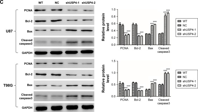 Silencing of USP4 promoted cell apoptosis in GBM cell lines. Notes: ( A ) Cell apoptosis was detected by flow cytometry using annexin-V/PI kit in shUSP4- or NC-transduced U87 and T98G cells. ( B , C ) Real-time PCR ( B ) and Western blot ( C ) were used to measure the expression level of PCNA, Bcl-2, Bax and cleaved caspase3 in shUSP4- or NC-transduced U87 and T98G cells. *** P