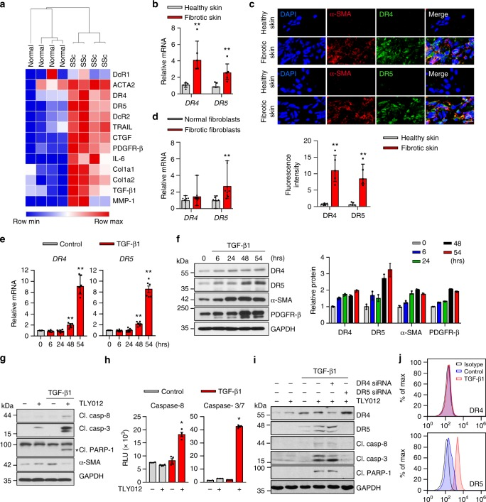 Myofibroblasts (MFBs) differentiated from primary human dermal fibroblasts (HDFs) become sensitive to death receptor (DR)-mediated apoptosis through upregulated DR5. a RNA-seq data of skin biopsies of patients with systemic sclerosis (SSc) demonstrated upregulated mRNA ACTA2 , DR4 , DR5 , TRAIL , and other fibrogenic components compared to normal skin ( n = 4 biologically independent samples). b Relative mRNA DR4 and DR5 expression from the skin of patients with SSc and morphea ( n = 5 biologically independent samples). c Representative double-immunostaining for DR4 (top, green), DR5 (bottom, green), α-SMA (red), and nuclei (DAPI, blue) in the healthy and fibrotic skin samples (scale bars, 10 µm). The fluorescence intensity was measured by ImageJ software ( n = 5 biologically independent samples). d Relative mRNA DR4 and DR5 expression from normal and fibrotic fibroblasts isolated from patients ( n = 7 normal fibroblast, n = 9 fibrotic fibroblasts biologically independent samples). e Relative mRNA DR4 and DR5 expression in HDFs treated with TGF-β1 (10 ng/mL) ( n = 6 biologically independent experiments). f Western blot analysis of DR4, DR5, α-SMA, and PDGFR-β in HDFs treated with TGF-β1 (10 ng/mL). Quantification of protein levels normalized to GAPDH ( n = 3 biologically independent experiments). g Representative immunoblots of apoptosis markers cleaved (Cl.) caspase-8, caspase-3, and PARP-1 in TGF-β1 (10 ng/mL for 54 h) activated HDFs treated with TLY012 (1 μg/mL) for 6 h ( n = 3 biologically independent experiments). h Caspase-8 and 3/7 activity in TGF-β1 (10 ng/mL for 54 h) activated HDFs treated with TLY012 (1 μg/mL) for 6 h ( n = 4 biologically independent experiments). i Knockdown effects of DR4 and DR5 on TLY012-induced apoptosis in HDFs activated by TGF-β1 (10 ng/mL for 54 h) as shown by western blot analysis ( n = 4 biologically independent experiments). j Flow cytometry analysis to determine the surface expression of DR4 and DR5 in HDFs activated by TGF-β1 for 54 h ( n = 3 biologically independent experiments). Data are shown as median ± interquartile range. The Mann–Whitney test was used. * P
