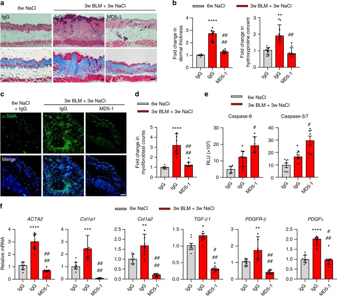 Mouse anti-DR5 antibody (MD5-1) reverses skin fibrosis in bleomycin (BLM)-induced mouse model of skin fibrosis. DBA2/J mice were divided into three groups: the control group treated with NaCl (s.c., day 0–42) and IgG (5 mg/kg, i.p., every other day, day 22–42, n = 8) and the BLM-induced groups treated with BLM (s.c., day 0–21) and IgG (5 mg/kg, i.p., every other day, day 22–42, n = 9) or MD5-1 (5 mg/kg, i.p., every other day, day 22–42, n = 8). a Representative images of H E and Trichrome-stained skin sections ( n = 8 mice treated with NaCl/IgG, n = 9 BLM/IgG, n = 8 BLM/MD5-1, biologically independent animals; scale bars, 100 µm). b Analysis of dermal thickness and hydroxyproline content. c Representative immunostaining for α-SMA (green) and nuclei (DAPI, blue) ( n = 8 biologically independent animals; scale bars, 50 µm). d Myofibroblast counts in the skins of control and BLM-induced groups ( n = 8 biologically independent animals). e Measurement of caspase-8 and caspase-3/7 activities in the skins of control and BLM-induced groups ( n = 7 biologically independent animals). f qPCR analysis of mRNA ACTA2 , Col1a1 , Col1a2 , TGF-β1 , PDGFR-β, and PDGFα in the skin ( n = 8 biologically independent animals). Data are shown as median ± interquartile range. The Mann–Whitney test was used. * P