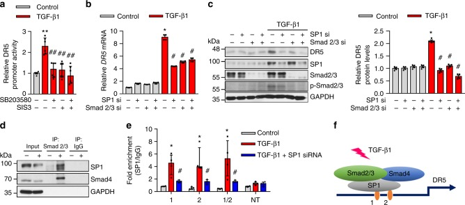 TGF-β signaling regulates the DR5 expression in HDFs though Smad2/3-SP1 complexes. a Measurements of DR5 promoter activity with the dual-luciferase-reporter system in HDFs treated with SB203580 (10 μM, Smad2 inhibitor) and SIS3 (5 μM, Smad3 inhibitor) for 2 h followed by TGF-β1 (10 ng/mL) treatment for 54 h ( n = 6 biologically independent experiments). b , c HDFs were transfected with SP1 and/or Smad 2/3 siRNA for 24 h. The cells were then exposed to TGF-β1 for 54 h. b mRNA DR5 levels in siRNA transfected HDFs with and without TGF-β1 treatment ( n = 4 biologically independent experiments). c Effects of siRNA-mediated knockdowns of SP1 and Smad2/3 on TGF-β1-induced DR5 levels in HDFs by western blot. Relative DR5 protein levels normalized to GAPDH ( n = 4 biologically independent experiments). d Western blot analysis of Smad2/3 immunoprecipitates (IP) of HDFs with or without TGF-β1 treatment ( n = 3 biologically independent experiments). e Binding assessment with ChIP assays of the two potential SP1 sites (site 1: −195 to −190, site 2: −159 to −154) and non-target site (NT) to the DR5 promoter in HDFs treated with TGF-β1 ( n = 4). f A representation of TGF-β pathway including Smad2/3, Smad4, and SP1 complexes in the translation mechanism of DR5. Data are shown as median ± interquartile range. The Mann–Whitney test was used. * P