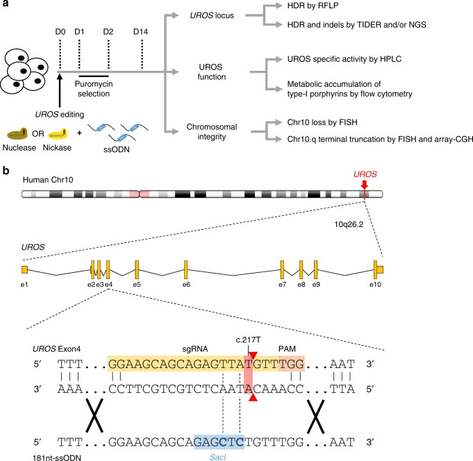 UROS gene editing strategy and workflow analysis. a Experimental workflow for UROS gene editing and analysis of outcomes. Cells were nucleofected with the 181nt-ssODN template and either with nuclease or nickase followed by puromycin-positive selection. Then, (i) UROS locus was characterized by RFLP to quantify HDR and by TIDER or deep sequencing to evaluate indels and to confirm HDR percentage; (ii) UROS functionality was assessed by quantifying UROS-specific activity and type-I porphyrin accumulation, respectively determined by HPLC and flow cytometry; (iii) Chromosomal integrity was tested for Chr10 loss or Chr10q terminal deletion either by DNA-FISH assay or array-CGH. b (Top) Schematic UROS locus in chromosome 10 with UROS gene overview (middle). (Bottom) Detailed view of exon 4 region and CRISPR-mediated HDR design using a c.217T-targeting sgRNA (highlighted in orange) with adjacent PAM and an 181nt-ssODN carrying a silent SacI restriction site (highlighted in blue) close to c.217 T position. Red arrows indicate expected cleavage site using nuclease. Chr chromosome, CGH comparative genomic hybridization, D day, e exon, HDR homology-directed repair, HPLC high performance liquid chromatography, NGS (next-generation sequencing), RFLP (restriction fragment length polymorphism), PAM protospacer adjacent motif, sgRNA single guide RNA, TIDER (tracking of insertions, deletions and recombination events)