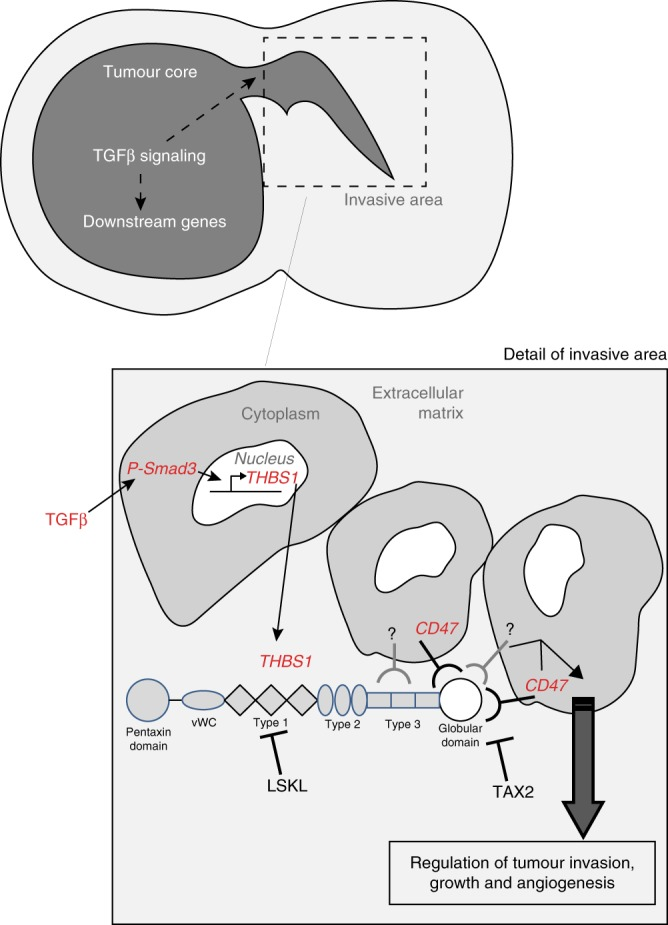 Proposed model for GBM invasion TGFβ1 is expressed in both the core and the invasive areas in GBM. THBS1 is transcriptionally regulated via SMAD3, which binds to regulatory elements in the THBS1 gene. THBS1 will then be released and act on tumour cell invasion and expansion. The interaction with CD47 is critical in this process