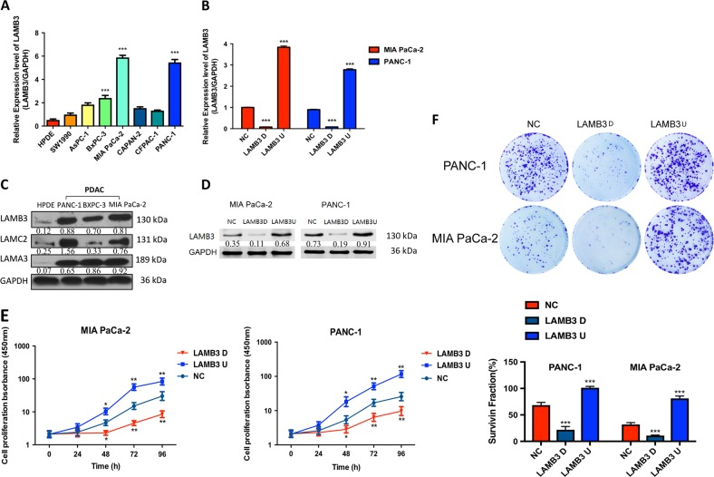 LAMB3 is expressed in pancreatic ductal adenocarcinoma (PDAC) cells and promotes PDAC cell proliferation in vitro. a LAMB3 mRNA expression levels in a normal pancreatic cell line and seven different established PDAC cell lines. b LAMB3 mRNA expression was examined by quantitative PCR (qPCR) in PANC-1 and MIA PaCa-2 cells stably transfected with overexpressing LAMB3 overexpression (LAMB3U), LAMB3 knockdown (LAMB3D), or empty vector plasmids (NC). c Cell lysates were prepared from a normal pancreatic cell line and three pancreatic cancer cell lines (PANC-1, BXPC-3, and MIA PaCa-2) and examined by western blot analysis. d LAMB3 protein levels were examined by western blot analysis in transfected PANC-1 and MIA PaCa-2 cells. e Cell proliferation was compared using <t>CCK-8</t> assays in the LAMB3D, LAMB3U, and NC groups. f Colony formation assays were performed in the LAMB3D, LAMB3U, and NC groups. Each figure is representative of three independent experiments