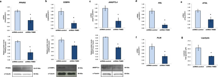 TNMD promotes adipogenesis and impairs lipid metabolism in human adipocytes. Human adipocytes were transfected with an adenovirus-5 containing a shRNA-TNMD and shRNA-control (scrambled) at day 14 of adipogenesis induction. (a–c ) Peroxisome proliferator-activated receptor gamma (PPARG), CCAAT/enhancer-binding protein alpha (CEBPA) and angiopoietin-like 4 (ANGPTL4) mRNA and protein levels were determined in the shRNA-TNMD and shRNA-control adipocytes. Protein levels in cell lysates were analyzed by Western blotting using specific antibodies against PPARG, CEBPA and ANGPTL4, normalized to the internal control (α-tubulin), and expressed as fold-change; the lower section shows a representative crop blot. (d – f) Hormone-sensitive lipase ( HSL ) gene expression, adipose triglyceride lipase ( ATGL ), and perilipin ( PLIN ) gene expression were determined in the shRNA-TNMD and shRNA-control adipocytes. ( g ) Glycerol levels (µM) in cell supernatants after treatment with shRNA-TNMD. All values are expressed as the means ± SEM of three independent experiments. Significant differences were identified using the nonparametric Mann-Whitney U test; *P-value