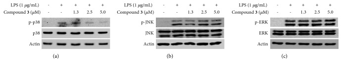 Effects of compound 3 on the LPS-induced activation of MAPK pathways in BV2 microglial cells. Lysates were prepared from cells pretreated with/without the indicated concentrations of compound 3 for 3 h and then with LPS (1 μ g/mL) for 30 min. The levels of p-p38, p38, p-ERK, ERK, p-JNK, and JNK were determined by Western blot analysis. Actin was used as a loading control. The experiment was repeated three times, and similar results were obtained.