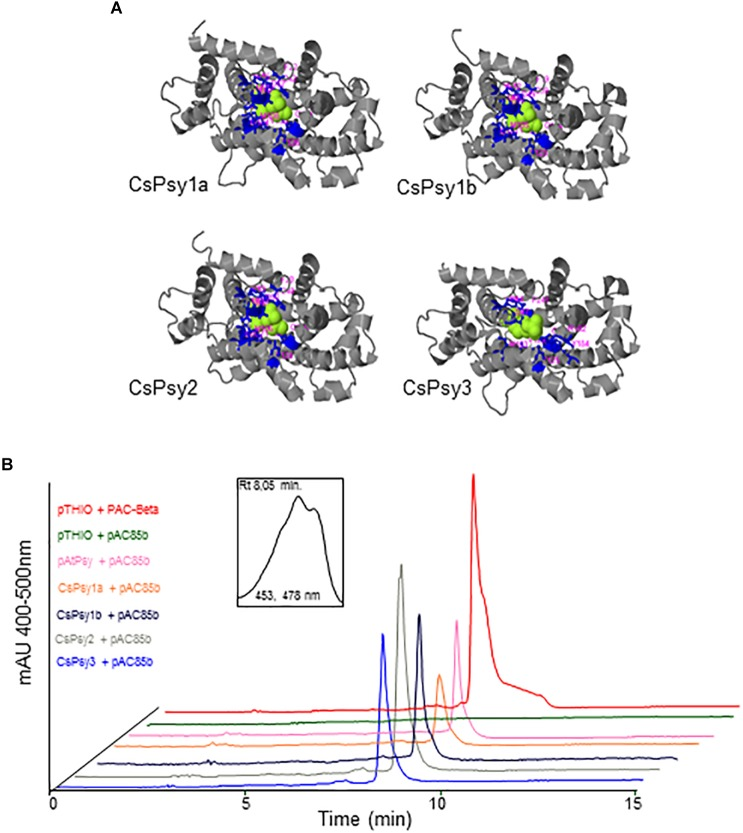 Functional complementation of the saffron PSY proteins. (A) Complex models of the CsPSY enzymes and their co-factor. (B) Escherichia coli cells harboring the pAC-85b vector were additionally transformed with saffron PSY constructs or empty vector. Cells carrying the pAtPSY vector confer accumulation of β-carotene and were used as a positive control. HPLC chromatograms for the extracted pigments are shown. The peak representing β-carotene was observed in cells with CsPSY1a, CsPSY1b, CsPSY2, and CsPSY3 constructs, but not in the empty vector. The inset shows the absorption spectrum of the β-carotene peak.