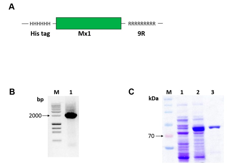 Construction, expression, and purification of cell-penetrating Mx1-9R. Escherichia coli cells were transformed with pET28a vector containing Mx1-9R fusion DNA sequence. After isopropyl <t>β-D-1-thiogalactopyranoside</t> <t>(IPTG)</t> induction, expressed Mx1-9R were purified by Ni-NTA column. ( A ) Structure of the Mx1-9R fusion protein was designed as described in the Methods. ( B ) Agarose gel electrophoresis of amplified Mx1-9R insert. ( C ) SDS-PAGE (2%) was performed to confirm the induction of Mx1-9R. BL21 (DE3). Lane 1: Whole lysates of control cells cultured without IPTG; lane 2: Whole cells induced with IPTG; lane 3: Purified Mx1-9R using Ni-NTA column.
