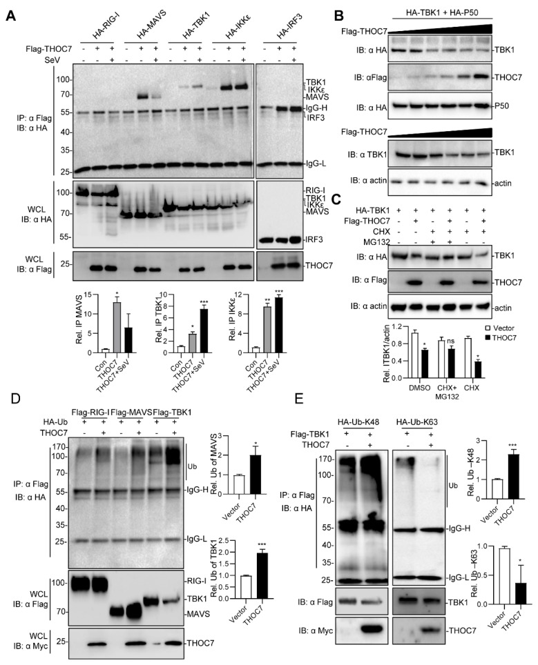 THOC7 is involved in the (mitochondrial antiviral signaling (MAVS) signalosome and drives proteasomal degradation of TBK1. ( A ) THOC7 was involved in forming the MAVS signaling complex. 293T cells were seeded into 100-mm dishes and transfected with Flag-tagged THOC7 or empty control plasmids (10 μg) and HA-tagged RLR signaling molecules (10 μg) as indicated. After 12 h of transfection, the cells were treated with or without SeV for 12 h. Co-immunoprecipitation and immunoblot analysis was performed with the indicated antibodies. ( B ) THOC7 promoted degradation of exogenous and endogenous TBK1 in a dose-dependent manner. 293T cells were seeded into 6-well plates and transfected with increasing amounts of Flag-THOC7 (0, 0.1, 0.2, 0.4, 0.8, 1.2 μg), and HA-TBK1 (2 μg). Twenty-four hours after transfection, immunoblot analysis was performed with the indicated antibodies. ( C ) <t>MG132</t> restored the TBK1 protein level in the presence of THOC7. 293T cells were seeded into 6-well plates and transfected with Flag-THOC7 (2 μg) and HA-TBK1 (1.5 μg). MG132 and CHX were added after 6 h of transfection and the cells were harvested for analysis after 24 h. ( D , E ) THOC7 increased the K48-linked ubiquitination of TBK1. 293T cells were seeded into 100-mm dishes and transfected with the indicated plasmids (8 μg each). Similar co-immunoprecipitation and immunoblotting experiments were performed with the indicated antibodies. Quantification of western blotting bands ( A , C , E , F ) from three independent experiments was performed with Image J software. Error bars indicate SD. n = 3. *, p
