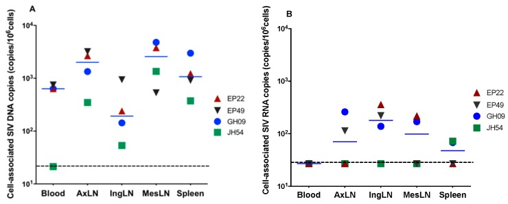 Levels of cell-associated SIV DNA ( A ) and RNA ( B ) in blood, axillary lymph nodes (AxiLNs), inguinal lymph nodes (IngLNs), mesenteric lymph nodes (MesLNs) and the spleen at the end of 6 months of ART in four animals with full viral suppression in peripheral blood. The dotted line indicates the limit of detection.