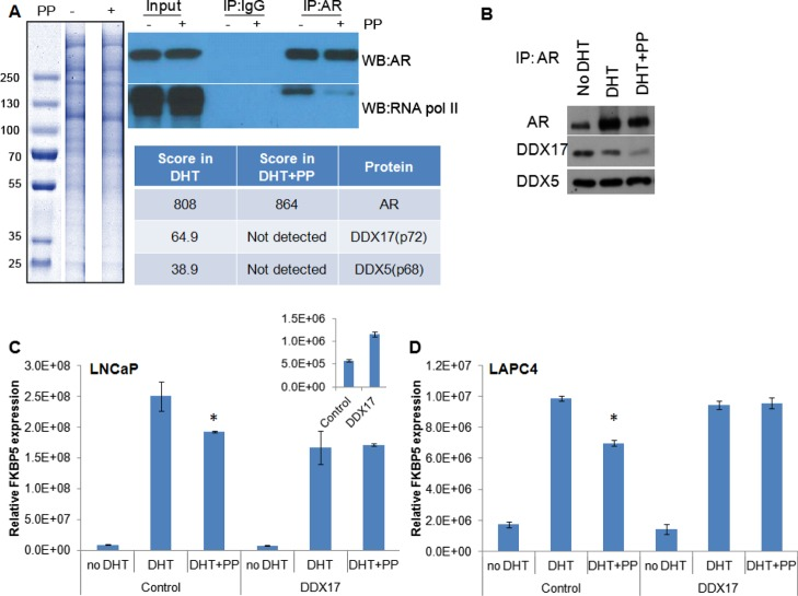 """IP–MS to identify AR-binding proteins affected by pyrvinium. (A) LNCaP cells were treated with 1 nM DHT ± 100 nM PP (indicated by a """"–"""" or """"+"""" adjacent to """"PP"""". Cells were lysed, AR was immunoprecipitated and proteins resolved by SDS-PAGE. Sections from a Coomassie-stained gel were isolated and prepared for MS analysis. A western blot was also performed to demonstrate the specificity for AR pull-down and PP activity, as it is known to block the interaction with RNA pol II. The table indicates the arbitrary score from each lane for the detection of AR and DDX proteins, with approximate mass. (B) To confirm the loss of DDX protein binding, LNCaP cells were treated with vehicle, DHT, or DHT + PP for 24 h, at which point the cells were lysed and AR was immunoprecipitated. Western blot for AR and DDX17 demonstrates a loss of coprecipitation of DDX17 with AR in the presence of PP. (C) LNCaP or (D) LAPC4 cells were transfected with a DDX17 expression vector or control vector. The following day, the indicated drugs were added, and 24 h later, RNA was harvested. qPCR demonstrated a decrease in the efficacy of PP to inhibit the transcription of the AR target gene FKBP5 upon DDX17 overexpression. * significantly different compared to DHT alone ( p"""