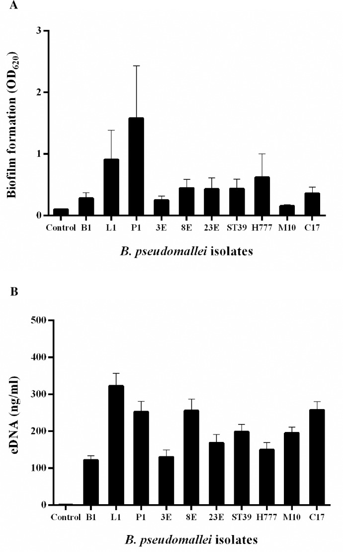 Variation in B . pseudomallei biofilm formation and eDNA quantity. (A) Degree of biofilm formation by 10 B . pseudomallei isolates grown in LB in 96-well plates at 37°C for 2 days was assessed using crystal-violet absorbance (OD 620 ). (B) eDNA concentration in 2-day biofilm of 10 B . pseudomallei isolates was assessed using the QuantiFluor dsDNA System. Controls were LB medium lacking bacteria. Data are represented as mean ± SD from at least three independent experiments.