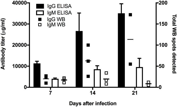 Quantitative goat humoral antibody responses to melioidosis as measured by whole cell lysate (WCL) ELISA and western blots. Goats were challenged by aerosol infection with Burkholderia pseudomallei isolate MSHR511. ELISA and western blot analyses were performed using whole cell lysate (WCL) of cultured MSHR511. Goat sera were collected prior to challenge and on days 7, 14 and 21 after infection. ELISA results (left y-axis) show the mean antibody titer from all goats per sampling day (7, 14, or 21) and are represented by vertical bars for IgG (black bar), and IgM (white bar). The amount of goat antibody in micrograms (μg) was calculated by subtracting pre-challenge from post-challenge ELISA results (before averaging) relative to the commercially purchased purified standards of goat IgG and IgM. The right y-axis shows the total number of antigenic spots in western blots from each goat, represented by small squares for IgG (black square), and IgM (white square). The total numbers of antigenic spots for IgM and IgG are listed in Table 1 .