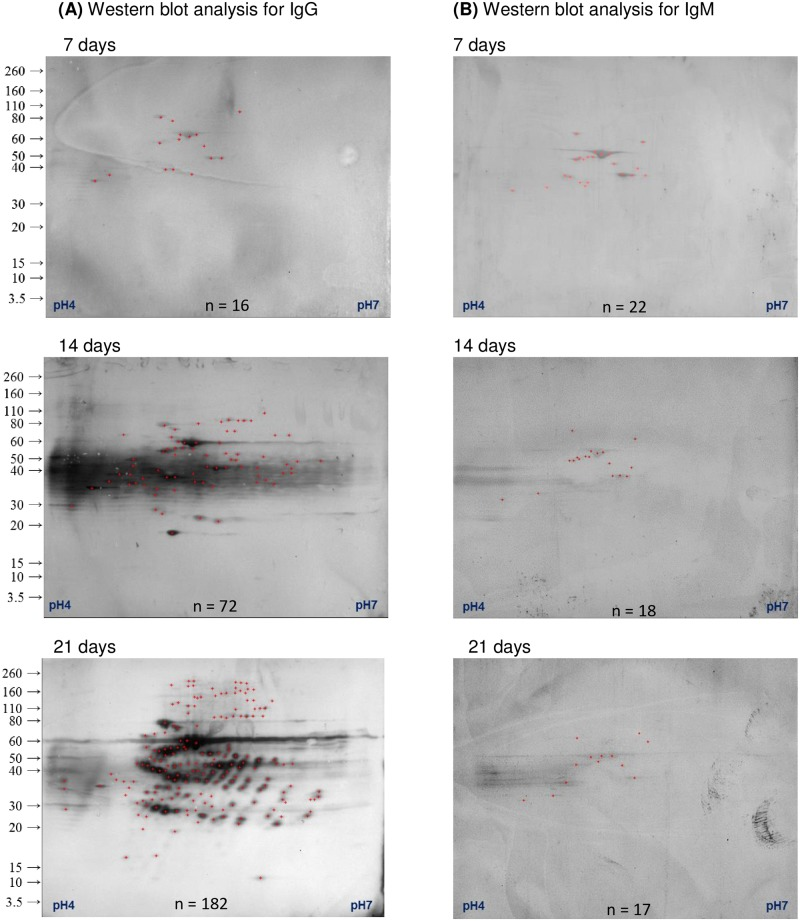 A time series of IgG and IgM responses to infection with B . pseudomallei . Goat sera were collected prior to infection and on the day of euthanasia. Immunoreactive proteins with IgG (A) and IgM (B) were determined by western blot analysis and then mapped onto a silver stained gel. The number of immunogenic protein spots detected (n) is provided at the bottom of each image.