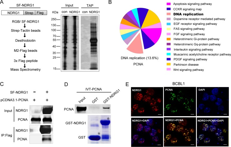 NDRG1 directly interacts with PCNA. (A)Schematic procedure for purification and identification of NDRG1 binding proteins via TAP assay (left). Plasmid expressing Strep-Flag-tagged NDRG1 was stable transfected into KSHV positive iSLK.RGB cells. The equivalent empty vector was stable transfected as a control. Cell lysates were subjected to affinity purification with streptavidin beads, followed by IP with flag M2 beads. The purified elutes were resolved by SDS-PAGE and visualized with silver staining (right), and were also analyzed by MS. (B) Pathway pie chart showing classified and predicted functions of MS identified proteins. (C) Co-IP of NDRG1 and PCNA in HEK293T cells. Strep-Flag-tagged NDRG1 was transfected into cells along with pCDNA3.1-PCNA or empty vector controls. After affinity purification with M2-Flag beads, the purified proteins along with input samples were detected by western blotting with anti-NDRG1 and anti-PCNA antibodies. (D) In vitro interaction between NDRG1 and PCNA via GST pull down assay. Purified GST, and GST-fused full length NDRG1 were subjected to SDS-PAGE and Coomassie Blue staining (lower panel). Purified beads were incubated with equivalent in vitro translated IVT–PCNA, and pulled down proteins were subjected to western blotting detection (upper panel). (E) NDRG1 colocalized with PCNA in the nucleus. Cells were fixed and probed with rabbit antibody against NDRG1 and mouse antibody against PCNA, followed by incubation with goat anti-rabbit IgG conjugated with Alexa Fluor 555 (red), goat anti-mouse IgG conjugated with Alexa Fluor 488 (green), DAPI (blue). Scale bars represent 5μm.