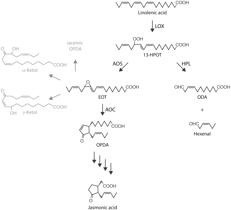 The Vick and Zimmerman pathway leading to the synthesis of jasmonic acid, and the concurrent AOS and HPL reactions. Pathway intermediates are indicated as follows: 13-HPOT, (9 Z 11 E 15 Z 13 S )-13-hydroperoxy-9,11,15-octadecatrienoic acid; EOT, 12,13( S )-epoxy-9( Z ),11,15( Z )-octadecatrienoic acid; ODA, 12-oxo- cis -9-dodecenoic acid; OPDA, cis -(+)-12-oxophytodienoic acid. Enzymes are indicated as follows: AOC, allene oxide cyclase; AOS, allene oxide synthase; HPL, hydroperoxy lyase; LOX, 13-lipoxygenase. Note that EOT is short-lived and spontaneously disintegrates into volatile α-ketols and γ-ketols as well as racemic OPDA.