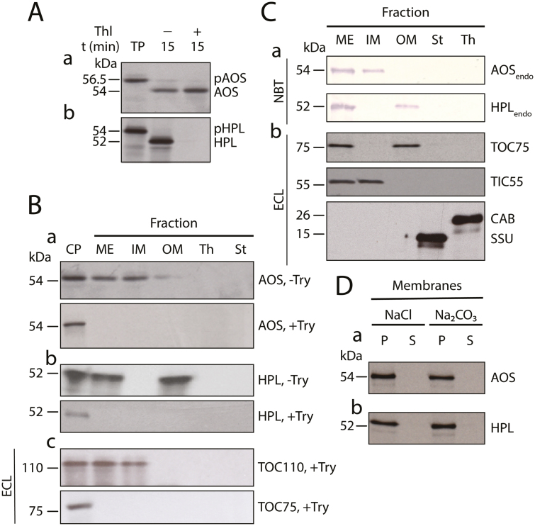In vitro import and differential membrane binding of AOS and HPL in chloroplasts. (A) Levels of 35 S-Met-labelled 35 S-AOS (a) and 35 S-HPL (b) before and after import into isolated Arabidopsis chloroplasts. Thl, thermolysin; TP, translation product. The positions of precursor proteins (pAOS and pHPL) and mature proteins (AOS, HPL) are indicated. (B) Detection by SDS-PAGE and autoradiography of 35 S-AOS (a) and 35 S-HPL (b) in trypsin (Try)-treated (+Try) and untreated (-Try) mixed outer and inner plastid envelopes (ME), inner plastid envelope (IM), outer plastid envelope (OM), thylakoids (Th), and stroma (St). CP, Chloroplast reference fraction prior to import and protease treatment. The western blot in panel c shows the levels of the inner chloroplast envelope translocon protein TIC110 and the outer chloroplast envelope protein TOC75 in non-trypsin-treated chloroplasts (CP) versus trypsin-treated chloroplasts containing imported 35 S-AOS/HPL and respective subfractions. Signal detection was made with an enhanced chemiluminescence (ECL) system. (C) Western blot analysis of the endogenous AOS (AOS endo ) and HPL (HPL endo ) (predicted molecular masses 54.5 kDa and 51.3 kDa, respectively; panel a) compared with TOC75, the translocon at the inner chloroplast envelope membrane protein TIC55, the chlorophyll a/b binding protein LHCII (CAB), and the small subunit of ribulose-1,5-bisphosphate carboxylase/oxygenase (SSU) (panel b) in the indicated fractions of non-trypsin-treated chloroplasts. Signal detection was made with either ECL or alkaline phosphatase-5-bromo-4-chloro-3-indolyl phosphate/nitro blue tetrazolium (NBT)-based systems, as indicated. (D) Membrane binding of imported 35 S-AOS (a) and 35 S-HPL (b), as assessed by their extractability by 1 M NaCl and 0.1 M Na 2 CO 3 , pH 11. Both pellet (P) and supernatant (S) fractions, obtained after sedimentation of the membranes, were tested by SDS-PAGE and autoradiography for the two labeled proteins.