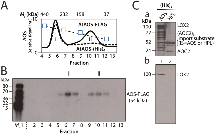 Detection of AOS complexes in vitro and in planta . (A) Gel filtration elution profile of AOS-FLAG in protein extracts of transgenic plants expressing FLAG-tagged AOS (solid line) and in isolated chloroplasts after in vitro import of AOS-(His) 6 (dashed line). AOS-FLAG was quantified by western blotting using FLAG-specific antibodies and an enhanced chemiluminescence (ECL) system. Similarly, AOS-(His) 6 signals were quantified by either western blotting using FLAG-specific antibodies and ECL detection, or radioactivity measurements in the case of 35 S-AOS-(His) 6 . For easier comparison, the different curves were normalized and values are expressed as relative signal intensities (int.). The positions of apo-ferritin (440 kDa), catalase (232 kDa), aldolase (158 kDa), and carbonic anhydrase (37 kDa), used as molecular size standards, are indicated (squares and dotted line). (B) Western blot analysis of AOS-FLAG. Positions of purified 14 Leu-labeled tomato heat shock proteins used as molecular size markers are indicated ( M r ). (C) Panel a, SDS-PAGE pattern of plastid envelope proteins co-purifying with AOS-(His) 6 (lane 1) and HPL-(His) 6 (lane 2). The indicated bands were identified by protein sequencing. Panel b, western blotting to identify LOX2 among the proteins detected in panel a.