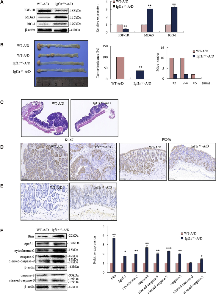 IGF-1R Knockdown-Triggered MDA5 and RIG-I Mediated Mitochondrial Apoptosis, Leading to Cancer Inhibition in Igf1r +/− Mice Igf1r +/− mice and their WT littermates were exposed to AOM-DSS for inducing colorectal cancer. (A) Igf1r +/− mice had higher MDA5 and RIG-I levels in the colorectal epithelium than WT mice. (B) Igf1r +/− mice developed less colorectal tumor than WT mice (left), showing decreased incidence (middle) and size of tumor (right). (C) Histopathological analyses showed advanced adenocarcinoma in WT mice, while only low-grade dysplastic mucosa appeared in Igf1r +/− mice. (D) IHC analysis showed a strong diffuse staining of Ki-67 and PCNA in the colorectal cancer of WT mice, whereas it showed only scattered positivity in the basal cells of colorectal crypt in Igf1r +/− mice. (E) TUNEL staining analysis showed increased apoptotic epithelium in Igf1r +/− mice. (F) Western blotting analysis showed increased Bim and apoptosome (cytochrome c , apoptotic peptidase-activating factor 1 [Apaf-1], and caspase-9 and caspase-3) in colorectal epithelium of Igf1r +/− mice (n = 6). *p