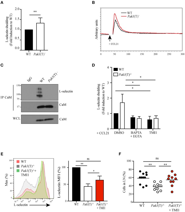 Pak1 regulates L-selectin shedding in activated CD4 + T cells. (A) Analysis by ELISA of soluble L-selectin in the supernatants of WT and Pak1 (T) −/− T cell blasts. Data were pooled from six independent experiments. (B) Representative time-dependent calcium flux (indo-violet/indo-blue) of Indo-1AM loaded WT and Pak1 (T) −/− CD4 + T cell blasts, stimulated with CCL21 (200 ng/mL) for the indicated time. Results from one of three independent experiments are shown. (C) Calmodulin (CaM) was immunoprecipitated and eluted material was blotted for co-precipitation L-selectin and CaM in lysates prepared from WT and Pak1 (T) −/− T cell blasts. Whole-cell lysates were blotted for CaM. Results from two independent experiments are shown. (D) Analysis of soluble L-selectin in the supernatant of WT and Pak1 (T) −/− CD4 + T cell blasts pre-treated for 20 min with DMSO (1:1,000), BAPTA-AM 10 μM and EGTA 2 mM, or TMI1 (0.5 μM), and incubated for 30 min in the presence of 100 ng/mL CCL21. (E) Left, L-selectin surface marker expression as measured by flow cytometry from WT and Pak1 (T) −/− CD4 + T cell blasts cultured with or without TMI1(10 μM) for 6 days. The results are representative of four experiments. Right, bar chart shows MFI (%) of L-selectin in WT and Pak1 (T) −/− blast T cells. (F) Percentage of WT, Pak1 (T) −/− and Pak1 (T) −/− treated with TMI1 cells per field of view. Statistical analysis: unpaired Student's t -test (A) ; ANOVA between selected columns with Sidak's multiple comparison test (D) ; ANOVA with Tukey's multiple comparison test (E,F) . ns , not significant; * P