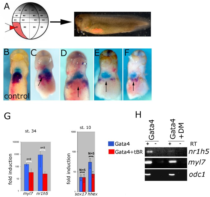 BMP signaling is required for liver development. (A) Design of the experiment. Lineage tracer was injected (B) alone or (C–F) with ∼30 pg/blastomere of truncated BMP Receptor (tBR) mRNA in dorso-vegetal blastomere D1 at the 32-cell stage. Heart and liver were revealed by double WMISH of myl7 (turquoise) and nr1h5 (purple). (C–F) four examples showing attenuation of liver fate specification in vivo following localized BMP inhibition by tBR (red-pink; pointed by arrows). N = 11, all showing effect on nr1h5 expression. Ventral views are shown, anterior is up. BMP signaling inhibition attenuates liver cell fate specification in Gata4 injected AC. (G) qPCR analyses of st. 34 explants show downregulation of nr1h5 as a consequence of BMP inhibition via tBR. At st. 10, tBR has no effect on the ability of Gata4 to induce sox17 but reduces hhex induction. (H) Treatment of Gata4-expressing AC explants with 30 μM dorsomorphin (DM) leads to downregulation of nr1h5 .