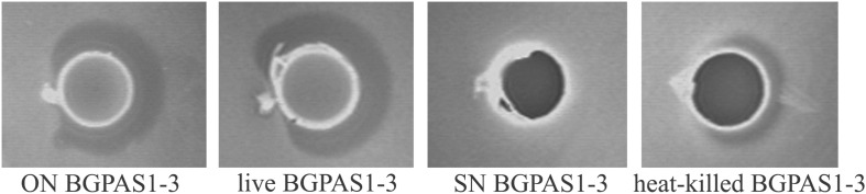 Direct antilisterial effect of overnight culture (ON) BGPAS1-3, live BGPAS1-3 cells, supernatant (SN) BGPAS1-3 and heat-killed BGPAS1-3 of Enterococcus faecium BGPAS1-3 was tested. The zone of Listeria monocytogenes ATCC 19111 growth inhibition around the well was taken as the positive signal of antimicrobial compounds production/activity. The confirmation of the proteinaceous nature of antimicrobial compounds is seen as a detectable growth at the edge of the inhibitory zone where the dot of pronase E crystals was placed.