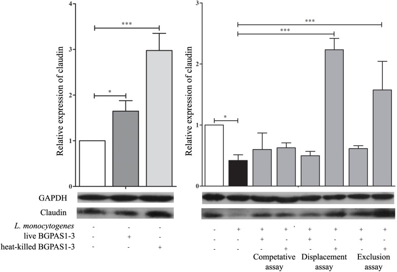 The effect of Listeria monocytogenes ATCC 19111, live and heat-killed Enterococcus faecium BGPAS1-3 on claudin expression by differentiated Caco-2 cells was analyzed on mRNA (qPCR, graphs) and protein (the representative images of Western blot, GAPDH was used as housekeeping protein) level in the competitive, the displacement and in the exclusion assays. Three experiments were done. One-way ANOVA with the Tukey's post hoc test was used to compare the expression of mRNA for claudin (relative to β- actin as housekeeping gene) in untreated cultures with BGPAS1-3 treated and L. monocytogenes ATCC 19111 treated cultures, as well as in L. monocytogenes ATCC 19111 treated cultures with BGPAS1-3/ L. monocytogenes ATCC 19111 treated cultures. Statistical significance p