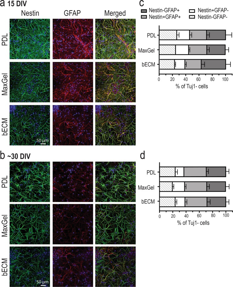 Phenotypic profiling of astrocytes in the presence and absence of an ECM coating. Representative fluorescent images showing a heterogenous population of cells expressing nestin and GFAP at 15 DIV ( a ) and ~30 DIV ( b ). Scale bar = 50 μm. Bar graph summarizes flow cytometry data highlighting the distribution of astrocytic phenotypes (Nestin−GFAP−, Nestin+GFAP−, Nestin+GFAP+, Nestin−GFAP+) at 15 DIV ( c ) and ~30 DIV ( d ). Data are mean ± SEM for the number of cultures (n = 3–4 biological repeats).