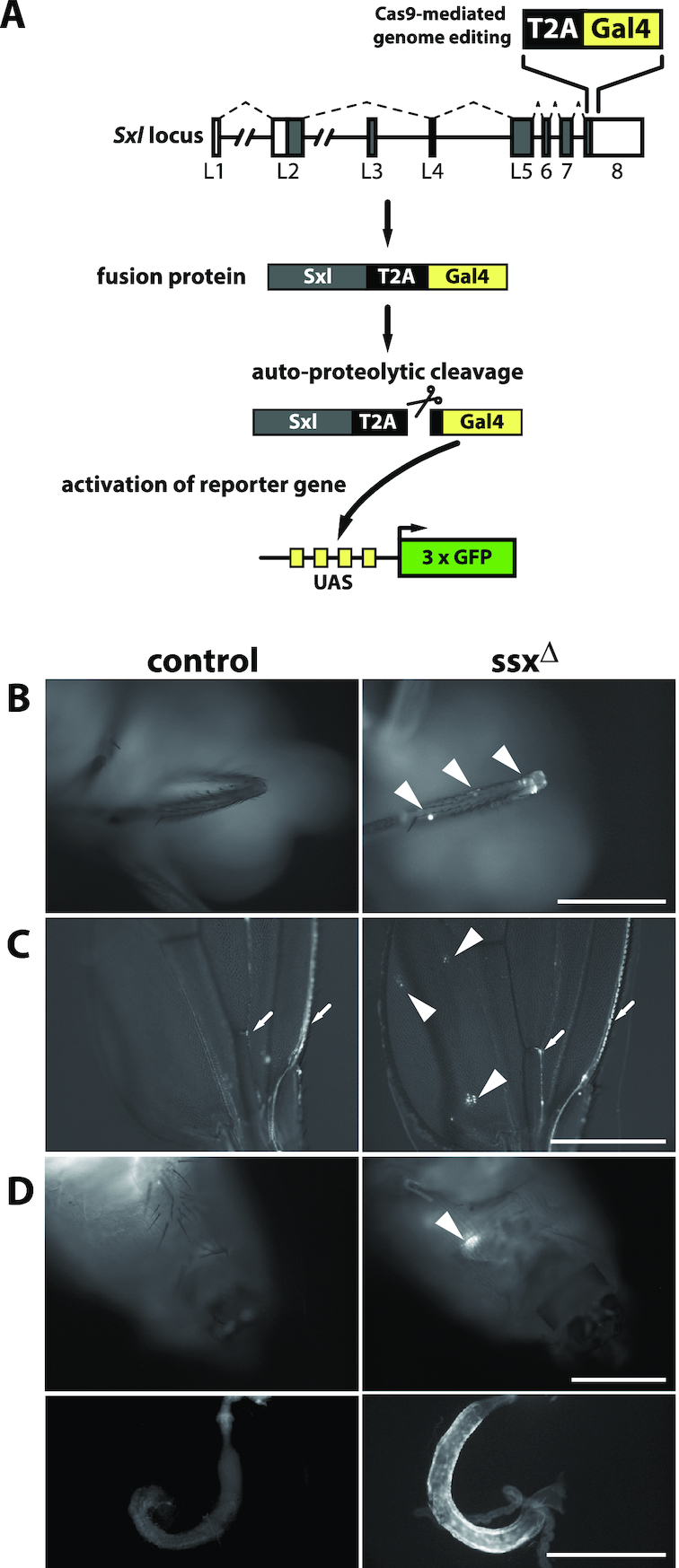 Male ssx knockout flies aberrantly express full-length Sxl protein. ( A ) Schematic representation of the reporter gene strategy employed to monitor full-length Sxl protein expression in flies. A T2A-Gal4 encoding sequence was fused to the 3′ end of the Sxl open reading frame (top) to allow expression of a Sxl-T2A-Gal4 fusion protein upon productive splicing (female splicing pattern indicated by dashed lines). Auto-proteolytic cleavage of the T2A sequence in the fusion protein releases the C-terminal Gal4 moiety which activates expression of a GFP reporter gene. ( B–D ) GFP expression in Sxl-T2A-Gal4, UAS-GFP (panel B) and Sxl-T2A-Gal4, UAS-Stinger flies (panels C and D). Control flies with an intact ssx locus are shown on the left, ssx Δ flies in the panels on the right. Arrowheads indicate GFP-positive cells or clonal cell populations in the tibia of the metathoracic leg (panel B) and the 3 rd posterior cell of the wing (panel C) or the midgut (panel D; top: ventral view of the abdomen with the GFP signal visible through the cuticula, bottom: hindgut after manual dissection of the animal). Arrows in panel C indicate GFP-positive nerve projections and neural cell bodies in the L1 and L3 veins of the wing. Scale bars: 0.5mm.