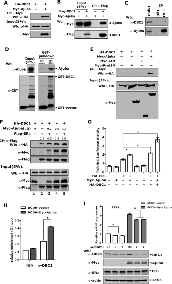 Ajuba recruits DBC1 to enhance ERα transcriptional activity. (A, B) plasmids encoding DBC1 and Ajuba were transfected into 293T cells and co-IP assay was performed by using Myc antibody ( A ) or Flag-M2-beads ( B ). ( C ) The endogenous interaction between DBC1 and Ajuba was detected in T47D cells by co-IP assay. ( D ) GST-DBC1 and His-Ajuba was respectively expressed in E. coli BL21, and in vitro binding assay was performed. ( E ) The plasmids of full-length and truncations of Ajuba protein were co-transfected into 293T cells with DBC1 plasmids and co-IP assay was carried out. ( F ) Increasing amount of plasmids encoding Ajuba were co-expressed along with DBC1 and ERα in 293T cells and co-IP assay showed that Ajuba enhanced the interaction between DBC1 and ERα (the relative amount of immunoprecipitated HA-DBC1 was semi-quantified by grayscale analysis and the mean values of the three repeats were labeled). ( G ) TFF1 promoter driven luciferase reporter assay was performed in 293T cells and the transfected cells were treated with 20 nM E2 before detecting luciferase activity and the value was normalized to β-gal (three repeats, * means P