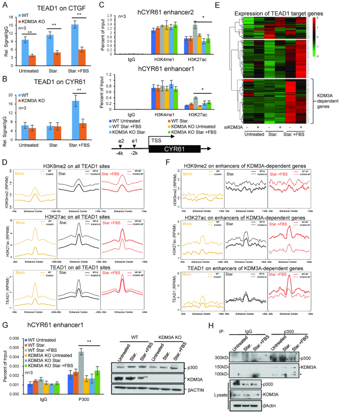 KDM3A regulates H3K27ac and TEAD1 binding on enhancers. ( A , B ) ChIP analysis shows TEAD1 enrichment in KDM3A WT and KO cells lines. KDM3A depletion attenuates TEAD1 recruitment to CTGF under all three conditions (A), while on CYR61 only during FBS treatment (B). ( C ) ChIP analysis shows H3K4me1 and H3K27ac enrichment on CYR61 enhancers in KDM3A WT and KO cells lines. The locations of two enhancers are shown at the bottom. ( D ) The average H3K9me2, H3K27ac and TEAD1 enrichment on all TEAD1 target sites. ( E ) Heat map shows the expression (FPKM) and clustering of TEAD1 target genes. ( F ) The average H3K9me2, H3K27ac and TEAD1 enrichment on enhancers of KDM3A-dependent genes. ( G ) ChIP assays to show p300 enrichment on CYR61 enhancer under starvation and FBS treatment. ( H ) Co-immunoprecipitation of p300 and KDM3A in HCT116 cells under starvation and FBS treatment. • labelled non-specific bands. * means P -value ≤ 0.05, ** for P -value ≤ 0.01. The results in all histograms represent the means (±SD) of at least three independent experiments. The sequencing data were obtained from two biological replicates.