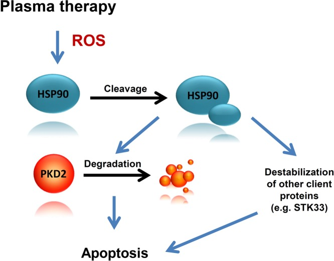 Cleavage of HSP90 and degradation of PKD2 following cold plasma treatment is associated with cancer cell death. Physical plasma treatment- generated ROS is followed by HSP90 cleavage and subsequent destabilization and degradation of PKD2. While PKD2 degradation plays an important role in cancer cell death, additional essential molecules such as STK33, also contribute to the apoptotic event. Furthermore, pre-treatment of cancer cells with subliminal doses of HSP90 inhibitor followed by cold plasma treatment boosts cell death in human cancer.