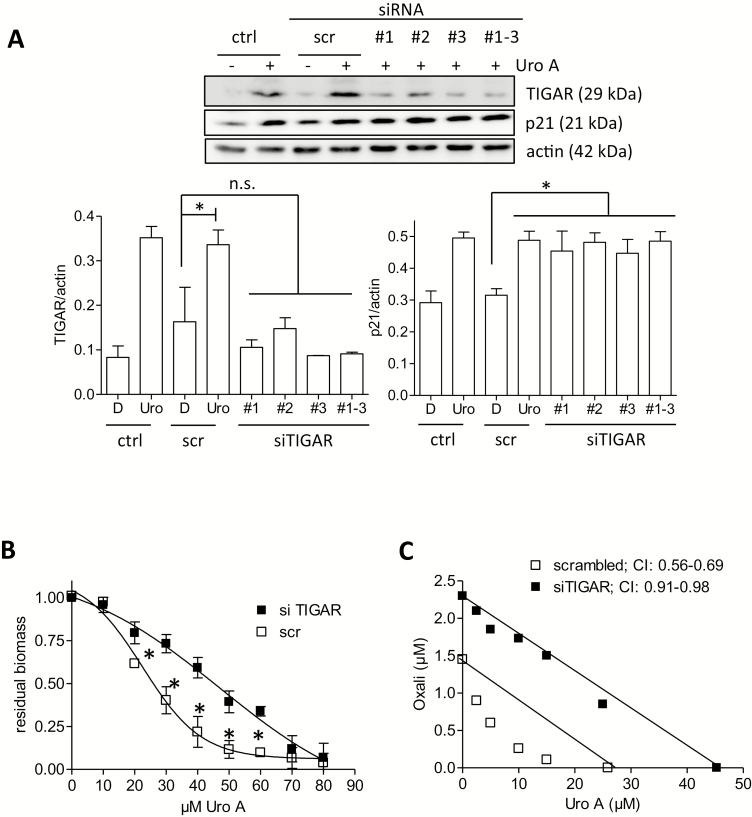 Knockdown of TIGAR by siRNA reduces the antiproliferative properties of urolithin A. ( A ) HCT116 WT cells were left untreated (ctrl) or transfected with siRNA (200 nM final concentration, scrambled (scr) or TIGAR-specific sequences #1–3, as indicated). After recovery and 24-h treatment with solvent (0.1% DMSO) or 30 µM urolithin A cells were lysed and subjected to western blot analysis for TIGAR, p21 and actin as loading control. Representative blots and densitometric analyses of three biological replicates are depicted. ( B ) HCT116 WT cells were transfected with the siRNAs (scr/mix#1–3) as indicated. Eight hours after transfection, cells were seeded into 96-well plates and treated with different concentrations of urolithin A. After 72-h incubation, a biomass staining via crystal violet was performed. Residual biomass was plotted against the concentration of urolithin A, and IC 50 values were derived from the fitted curve ( n = 3, mean ± SD, * P