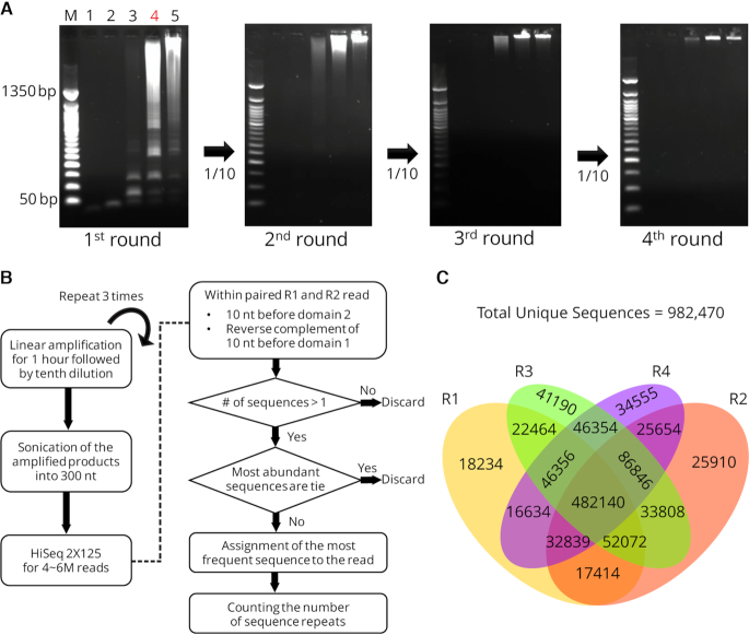 High-throughput sequencing for PS-THSP products of random sequences with a serial dilution. ( A ) PS-THSP was performed with a PS-THSP probe 1 (100 nM) and different amount of dNTPs (M: 50 bp DNA ladder, lane 1: 0 μM, lane 2: 2 μM, lane 3: 20 μM, lane 4: 200 μM, lane 5: 2 mM). The product of first round was 10 times serially diluted to fourth round and PS-THSP was performed for each round. ( B ) The flow chart shows that how the next generation sequencing data for PS-THSP products was analysed. ( C ) The four-way Venn diagram was prepared with the analysed NGS data for all the rounds.