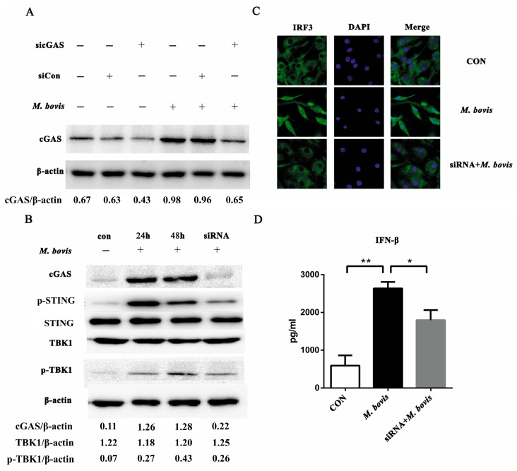 The cyclic GMP-AMP synthase (cGAS) pathway is activated in bone marrow-derived dendritic cells (BMDCs) during Mycobacterium bovis infection. ( A ) BMDCs were treated with siRNA, siCon, and M. bovis , and cGAS protein was analyzed by Western blotting at 24 h after treatment. ( B ) The related proteins in the cGAS pathway in BMDCs were assayed by Western blotting. The protein levels of cGAS, p-STING, STING, TBK1, and p-TBK1 were analyzed in BMDCs transfected with siCon or sicGAS and then infected for 24 or 48 h with M. bovis (MOI 5). ( C ) The co-localization of IRF3 within the nucleus was detected by immunofluorescence microscopy (400 ×). ( D ) The culture supernatants were harvested after 24 h and assessed by ELISA. All data are expressed as mean ± SD, (* p