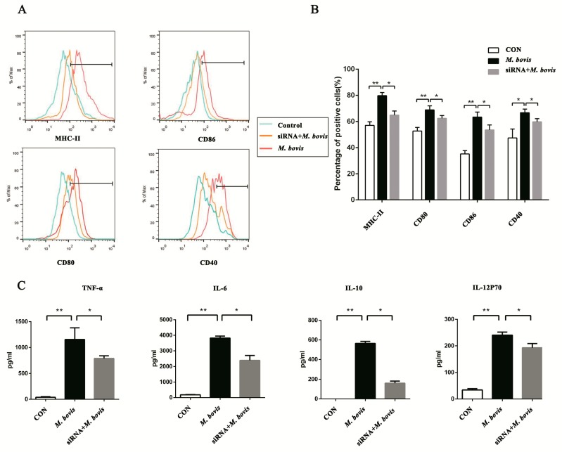 The cGAS pathway promotes the maturation and activation of BMDCs. ( A ) The cell surface markers of CD40, CD80, CD86, and MHC class II were analyzed by flow cytometry in BMDCs transfected with siCon or sicGAS and then infected for 24 h with M. bovis (MOI 5). The CD11c marker was used to set the gate for flow cytometric analysis. ( B ) The positive cell rate of surface markers in each group was calculated, and histograms were generated by FlowJo software. ( C ) Culture supernatants were collected after 24 h; the expressions of TNF-α, IL-6, IL-10, and IL-12p70 were assayed by ELISA. All data are expressed as mean ± SD, (* p