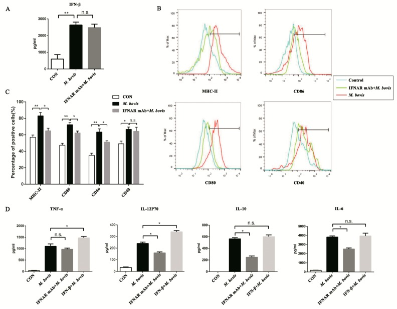 Type I interferon (IFN) and its receptor (IFNAR) contribute to the cGAS pathway in BMDCs. ( A ) The expression of IFN-β was assayed after anti-mouse IFNAR monoclonal antibody (mAb; 10 ng/mL) treatment. ( B ) The cell surface markers of CD40, CD80, CD86, and MHC class II were analyzed by flow cytometry in BMDCs transfected with siCon or sicGAS and then infected for 24 h with M. bovis (MOI 5). The CD11c marker was used to set the gate for flow cytometric analysis. The interferon receptor was treated with neutralizing anti-mouse IFNAR mAb (10 ng/mL) to block and then infected for 24 h with M. bovis (MOI 5). ( C ) The positive cell rate of surface markers in each group was calculated, and histograms were generated by FlowJo software. ( D ) Culture supernatants were harvested after 24 h; the expression of TNF-α, IL-6, IL-10, and IL-12p70 was assayed by ELISA. IFN-β + M. bovis : BMDCs were treated with exogenous IFN-β (10 ng/mL) and then infected with M. bovis [ 16 ]. All data are expressed as mean ± SD, (* p