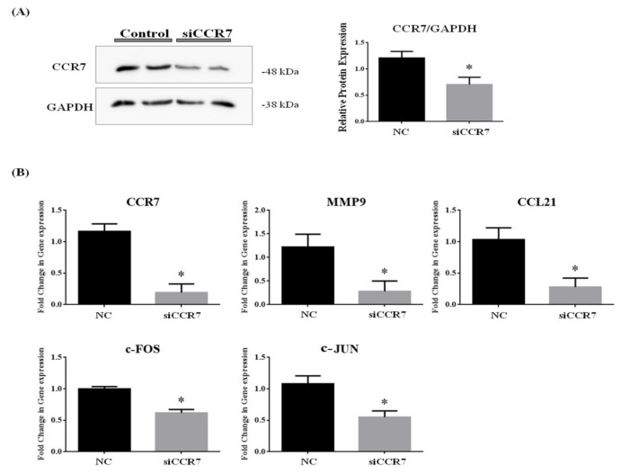 Downregulation of CCR7 gene by siRNA inhibits gene expression of MMP9, c-FOS, c-JUN and CCL21 in vitro. ( A ) Western blot of proteins extracted from MCF7 cell against CCR7 and GAPDH. ( B )To investigate level of transcripts associated with CCR7, MMP9, CCR7, c-FOS, c-JUN and CCL21 were monitored in MCF7 cell transfected with CCR7 siRNA by using qPCR. Β-ACTIN and 18S mRNA was used as an internal control in real time PCR. Data are representative of four independent experiments and are expressed as the mean ± SD; * p