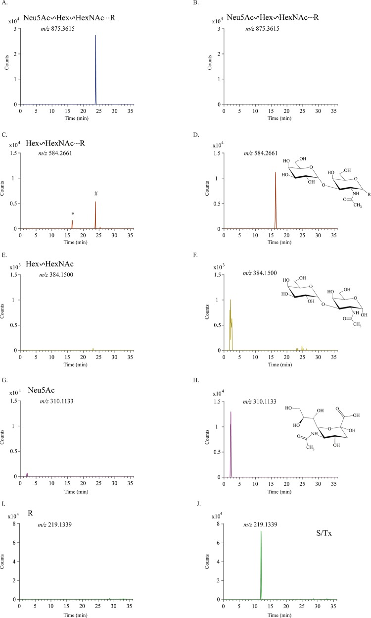 Enzymatic deglycosylation and MS confirmation of core 1 glycosylation. MF 874.3547 untreated (A, C, E, G, I) and treated with α2-3,6,8 neuraminidase and O -glycosidase (B, D, F, H, J) were analyzed by LC-MS, and the spectra were evaluated by extracted ion chromatogram (EIC) for intact glycopeptide (A and B), the glycopeptide minus Neu5Ac (C and D), the Hex–HexNAc disaccharide (E and F), Neu5Ac (G and H), and the deglycosylated putative diamino acid S/TX (I and J). The * in panel C indicates a low level of the glycopeptide minus Neu5Ac ( m / z 584.2661) present in the undigested sample. Note the level of this product was considerably higher following digestion (G). In source fragmentation of SLC1G yielded the m / z 584.2661 product (# in panel C) at the same retention time as the undigested glycopeptide.