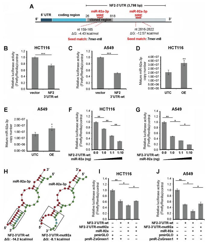 NF2 is downregulated by miR-92a-3p via its 3′UTR. (A) Schematic representation of the full and cloned 3′UTR region of NF2 isoform I mRNA and the predicted miR-92a-3p MREs within its sequence. Dual-Luciferase assay of (B) HCT116 and (C) A549 cells transfected with empty vector (i.e., pmirGLO) or NF2 −3′UTR-wild-type. (D and E) The expression levels of mature miR-92a-3p were measured by <t>QuantiGene</t> <t>miRNA</t> assay in untransfected (UTC) or miR-92a construct-transfected (OE) HCT116 and A549 cells. Dual-Luciferase assay of (F) HCT116 and (G) A549 cells co-transfected with increasing plasmid ratios of NF2 −3′UTR-wild-type:miR-92a. (H) Secondary structure analysis of the RNA-RNA interaction (boxed region) between miR-92a-3p (red) and its MRE within wild-type vs. mutant NF2 −3′UTR (green). Dual-Luciferase assay of (I) HCT116 and (J) A549 cells co-transfected with wild-type or miR-92a-3p MRE mutant NF2 −3′UTR and miR-92a expression vectors. All experiments were performed in cells maintained in 0.5% serum. Data presented are representative of three independent trials and expressed as the mean ± standard deviation (SD). *P≤0.05, **P≤0.01, ***P≤0.001. NF2 , neurofibromin 2; UTR, untranslated region; MRE, microRNA response element.