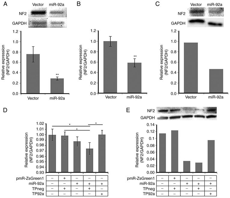 miR-92a-3p downregulates NF2 mRNA and protein expression by interacting with its conserved MRE within the NF2 −3′UTR. (A) Semi-quantitative reverse transcription-polymerase chain reaction (semi-RT-qPCR), (B) quantitative RT-PCR (RT-qPCR) and (C) western blotting detection of NF2 /Merlin expression levels in HCT116 cells transfected with empty vector or miR-92a expression construct. (D) RT-qPCR and (E) western blotting detection of NF2 /Merlin expression in HCT116 cells co-transfected with pmR-ZsGreen1 and negative control target protector (TPneg), or with miR-92a expression construct and miR-92a-target protector (TP-92a). All experiments were performed in cells maintained in 0.5% serum. Data presented are representative of three independent trials and expressed as the mean ± standard deviation (SD). *P≤0.05, **P≤0.01. NF2 , neurofibromin 2; UTR, untranslated region; MRE, microRNA response element.