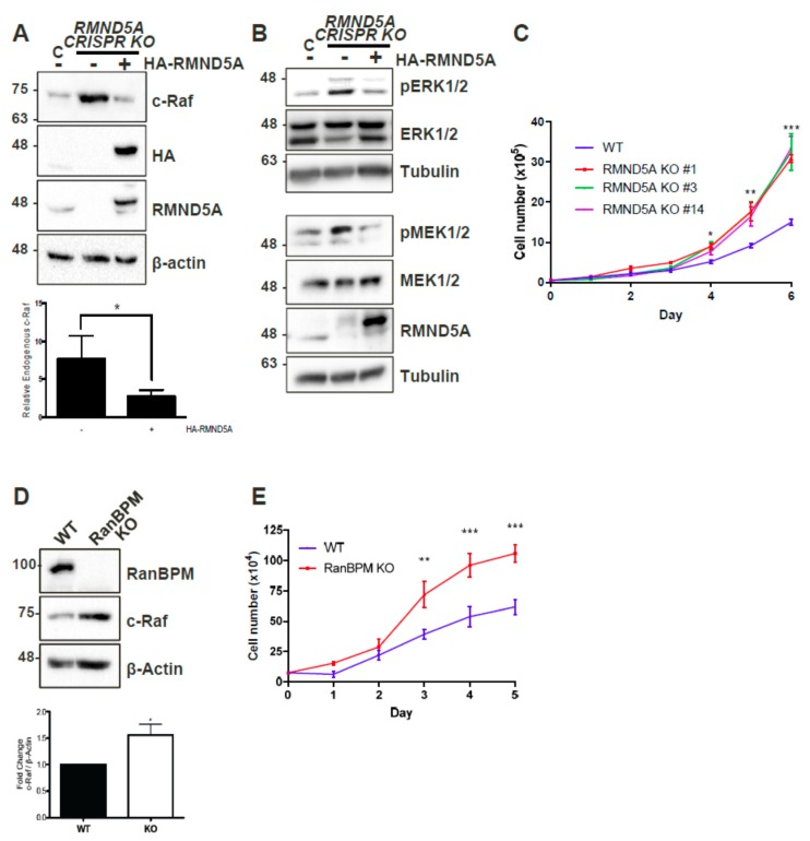 CTLH complex members RMND5A and RanBPM regulate c-Raf levels and cell proliferation. ( A ) RMND5A regulates endogenous c-Raf protein levels. Whole cell extracts from wild-type (WT) HEK293 cells and CRISPR KO RMND5A HEK293 cells untransfected (−) or transfected with pCGN-HA-RMND5A (+) were prepared and analyzed by Western blot. The top shows a representative analysis using c-Raf, HA (hemagglutinin), RMND5A, and β-actin antibodies to detect endogenous c-Raf, exogenous HA-RMND5A, endogenous RMND5A, and β-actin, respectively. Below, relative endogenous c-Raf protein levels were quantified by normalizing c-Raf to β-actin, and comparing values to wild-type HEK293 when set to a value of 1. Quantifications are shown with error bars indicating SD. p
