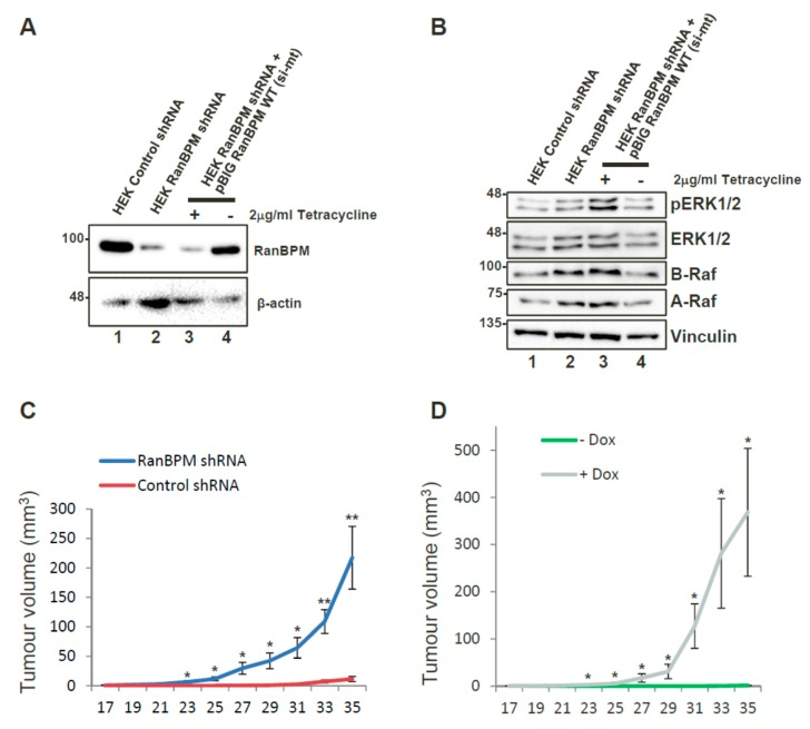 Downregulation of RanBPM promotes tumour formation in NOD/SCID/gamma mice. ( A ) re-expression of RanBPM in HEK293 cells via Tet-off pBIG expression vector. HEK293 pool of cells stably expressing RanBPM shRNA were transfected with pBIG-RanBPM WT (si-mt) and maintained in media with 2 μg/mL Tetracycline and 250 μg/mL hygromycin to select for integration of the pBIG vector. Following selection, cells were either maintained (+) in Tetracyclin-containing media, or cultured in absence of Tetracyclin (−) for 24 h to allow induction of RanBPM. Tetracyclin removal leads to re-expression of RanBPM (lane 4); ( B ) ERK pathway activation in RanBPM shRNA cells. Samples shown in ( A ) were analyzed for ERK phosphorylation and A-Raf and B-Raf expression. The Western blot was analyzed with the indicated antibodies; ( C ) injections with HEK293 control and RanBPM shRNA pools were injected subcutaneously in the flank of 6–8 weeks old NOD/SCID/gamma. Tumour measurements were taken twice per week and a digital caliper was used to measure Length × Width × Depth of the tumour upon excision in order to calculate volume. n = 7, error bars represent SEM; ( D ) injections with HEK293 RanBPM shRNA pool of cells stably re-expressing RanBPM via pBIG Tet-off expression system (see C , lanes 3,4). Mice were fed chow containing Dox (purple line) or regular chow (green line). n = 6, error bars represent SEM. p